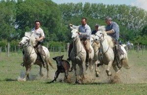 © ANR cheval camargue