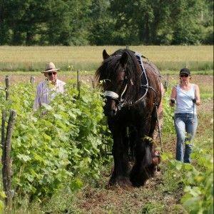 © Races mulassières du Poitou
