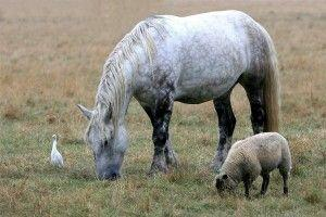 © E. Rousseaux - Trait Poitevin, mouton et Héron garde-bœufs