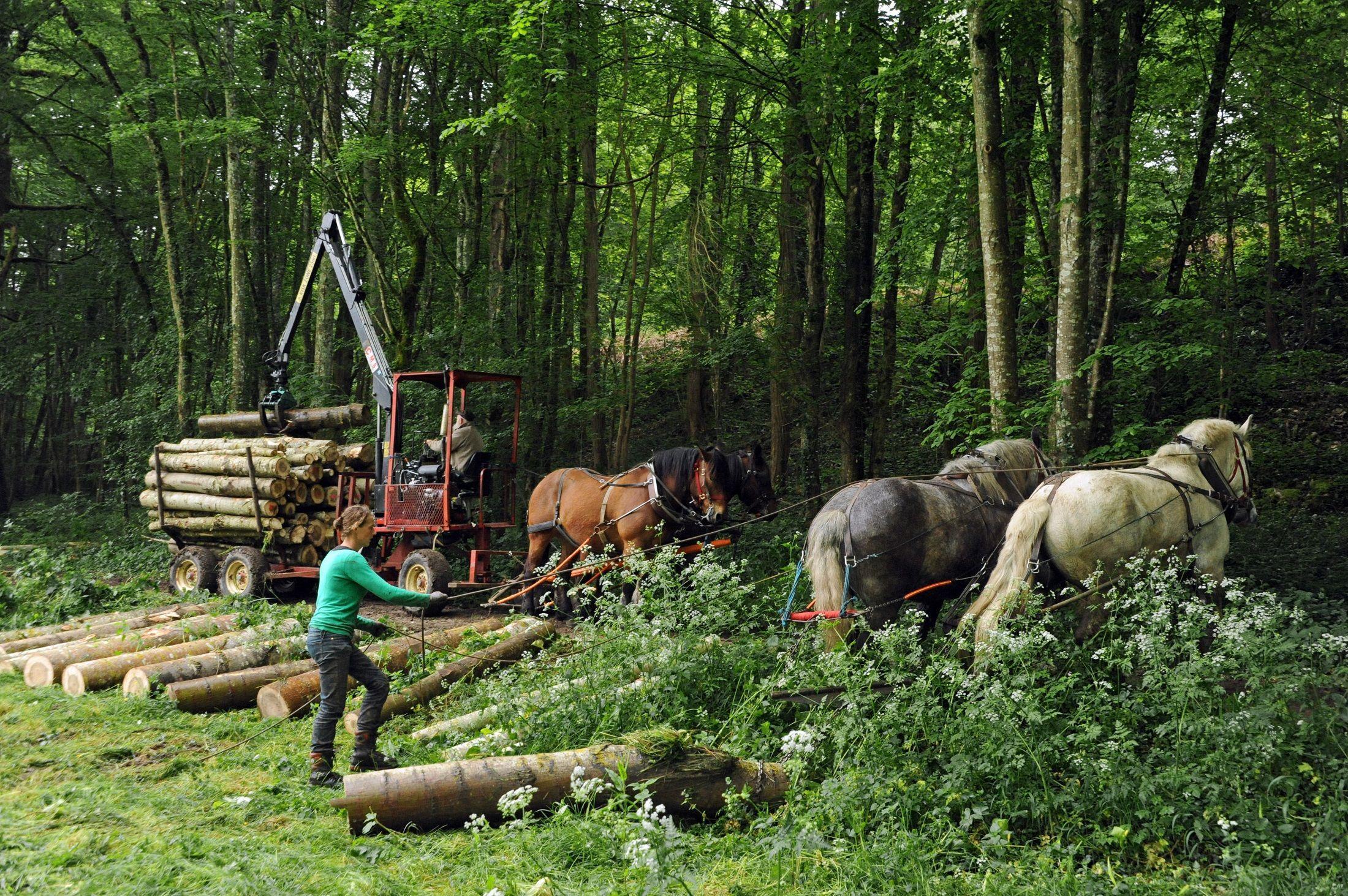 © JL. Dugast - Attroupement Percherons - Porteur forestier hippomobile Comtois